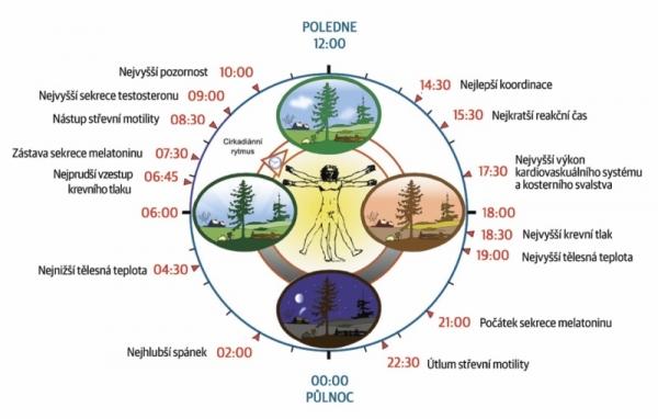 Cirkadiánní rytmus ovlivňuje naše tělo a mysl výrazněji, než si leckdy uvědomujeme, jak naznačuje tento obrázek. Samozřejmě, tělo je přizpůsobivé a individuální rozdíly výrazné, tak časy berte s rezervou.