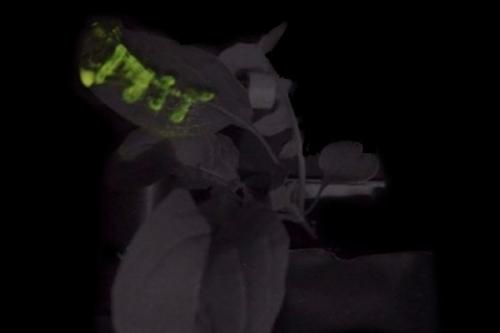 Budou nám na čtení svítit nanobionické rostliny?