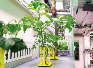 Po zprovoznění technologie se takto v kontejneru pěstují rajčata