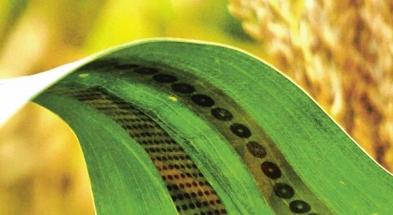 """Schnable s kolegy své technologii přezdívají """"tetování pro rostliny"""""""