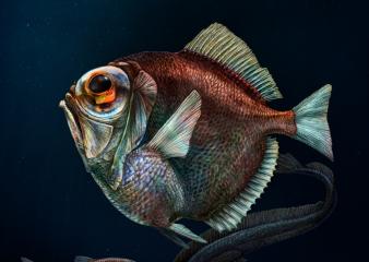 Beztrnovka stříbřitá má na poměry hlubokomořských tvorů poměrně nenápadný vzhled. Má zploštělé tělo zřejmě proto, aby ve vodním sloupci byla při pohledu zdola co nejméně nápadná (většina dravců útočí právě zdola proti slabému světlu od hladiny). Její oči jsou uzpůsobeny tak, aby ryba měla dobrý výhled nahoru i dolů. /Foto: Pavel Říha, JU ČB/