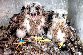 Loňská počeradská dvojka, letošní  samice sedí na třech vejcích