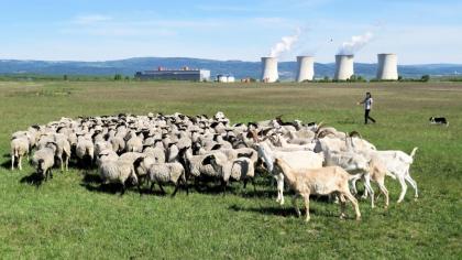 Pastevkyně Marie Hamáková a její pomocnice Debie shánějí stádo dohromady před jeho odchodem na polední siestu v košáru