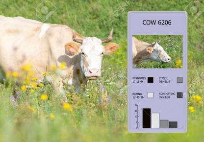 Díky monitoringu žvýkání mají pracovníci farmy dokonalý přehled o pohybové aktivitě a frekvenci žvýkání