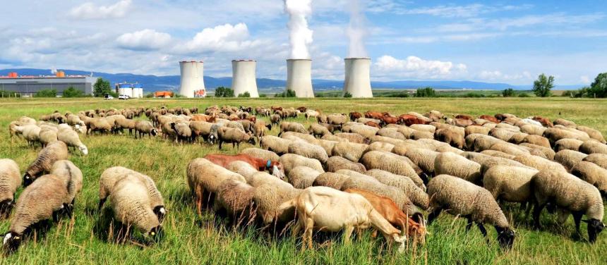 Pasoucí se stádo ovcí a koz s pohledem na Elektrárnu Tušimice